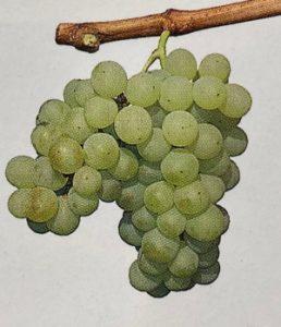 Bulgarian wine - Dimyat