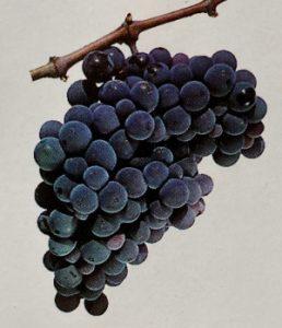 Bulgarian wine - Gamza