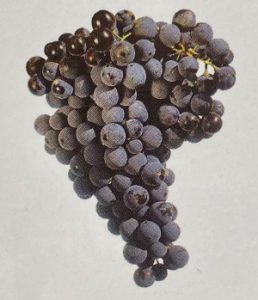 Bulgarian wine - Melnik