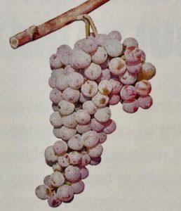 Bulgarian wine - Red Misket