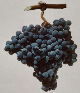 Bulgarian-wine-Mavrud