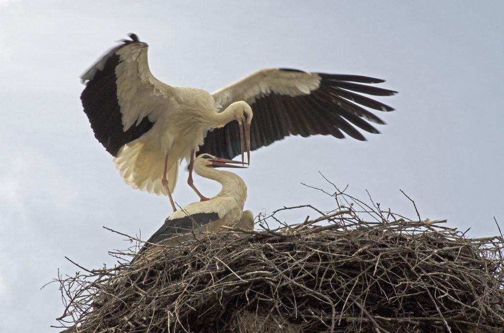 Stork nest in Bulgaria